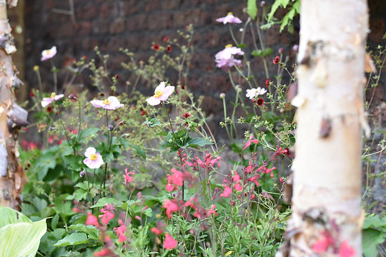 Studio Cullis London garden planting design detail showing anemone plant emerging in late Summer