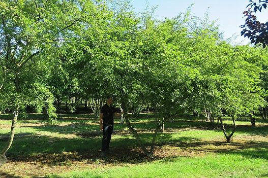 George Cullis from Studio Cullis standing under a multi-stem tree in a specialist Dutch tree nursery