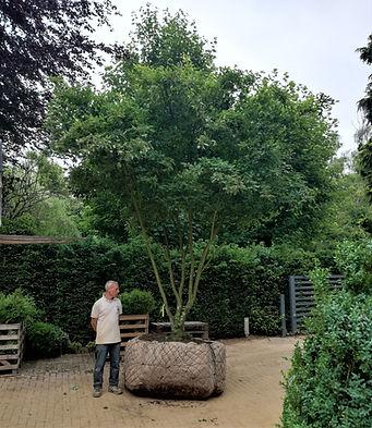 Multistem ornamental flowering garden tree for planting in lawn in Hertfordshire