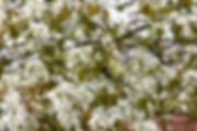 Studio Cullis Flowering multistem amelancier tree in Spring blossom