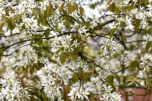 Studio Cullis flowering multistem amelanchier tree in Spring blossom