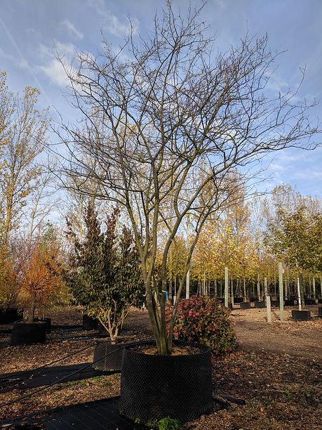 Studio Cullis Multi-stem tree in Winter at the tree nursery