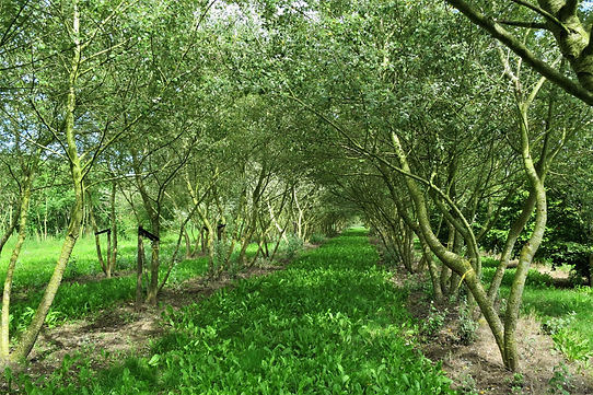Studio Cullis Feature trees lined up in a Dutch tree nursery