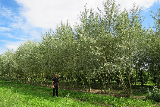 Studio Cullis Feature trees in a Dutch tree nursery