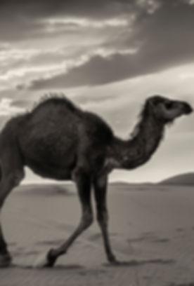 dromedario desierto