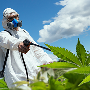 Should you be afraid of pesticide on cannabis?