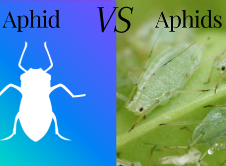 Differences between Aphid & Aphids.