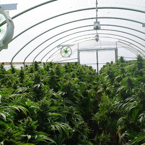 Growing Marijuana in a Greenhouse: What Are the Benefits?