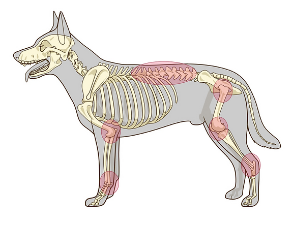 Common areas of pain in the dog