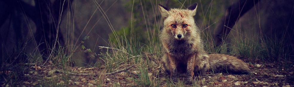 Wildnis Fox