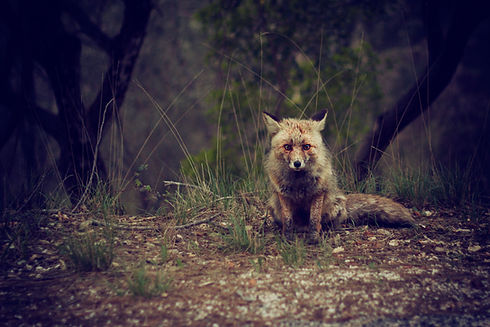 Wilderness Fox
