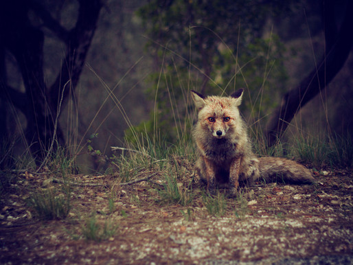 The Fox and the Scars by Amy Wall