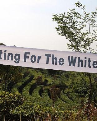 2019_%20white%20tea%20harvest_edited.jpg
