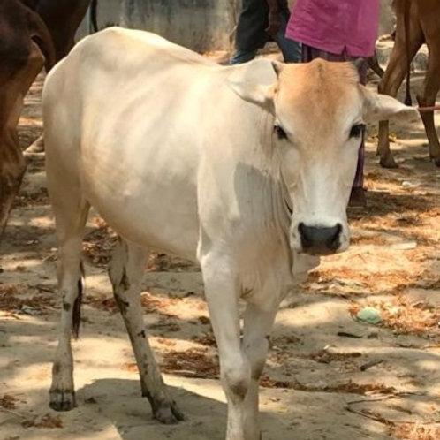 Bangladesh/Rohingya - Cow (1 Part)