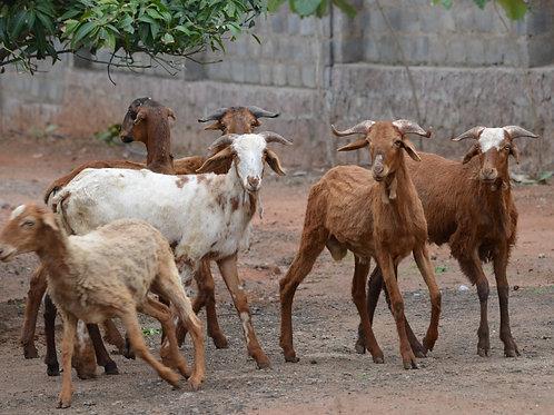 Yemen - Goat