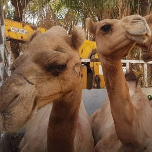 Yemen - Camel (1 Part)