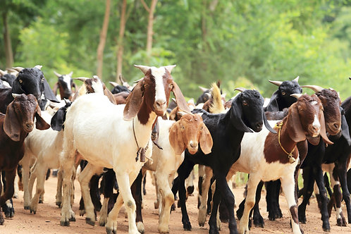 Cambodia - Goat