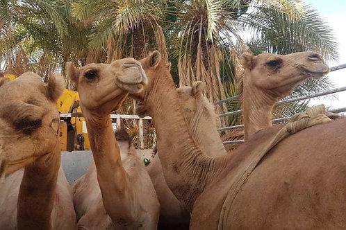 Yemen - Camel (7 Parts)