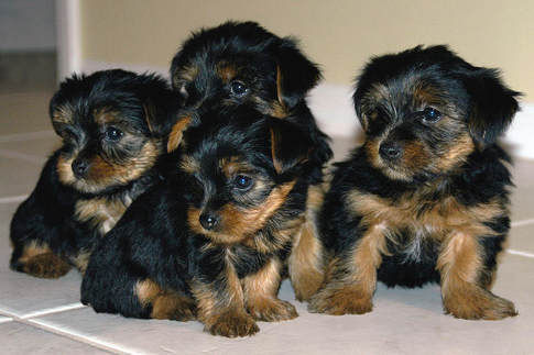 yorkie-puppies-for-sale.jpg