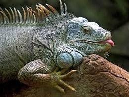 photo iguana.jpg