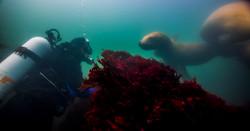 Sea Lion Diver Olympic Coast