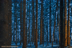 Winter Forest Night