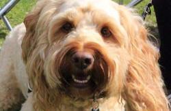 Doodles Dog grooming Bracknell 07926916044