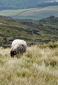 sheep on moorland.jpg