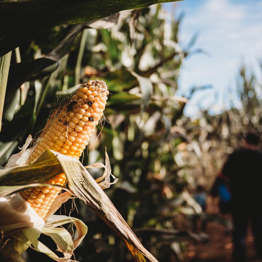 Corn in corn field