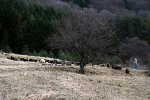 Той и стадото му
