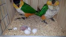 Primera nidada de Caiques de Cabeza Negra