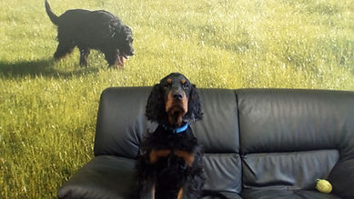 Gordon Setter sitting patiently