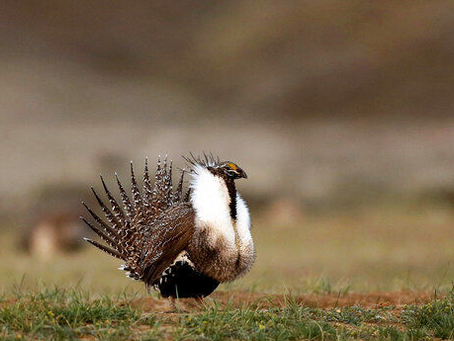 Mining ban considered to protect sage grouse in US West
