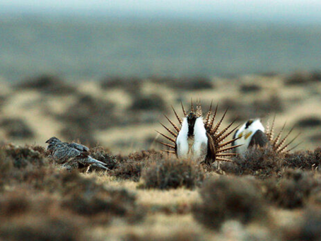 Powell business plans to search again for sage grouse eggs