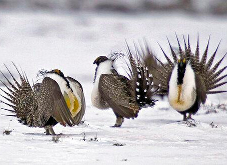 Federal judge rules against BLM, suspends new drilling on 400,000 acres of sage grouse habitat