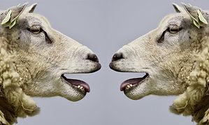 To får der ser på hinanden cbd olie til dyr.jpg