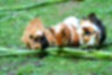 Spisende marsvin CBD salve til dyr.jpg