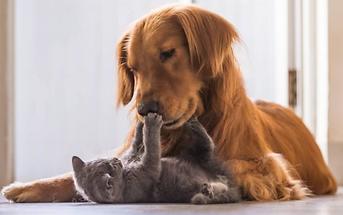kattekilling og hund der leger