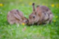 Kaniner i græsset.jpg