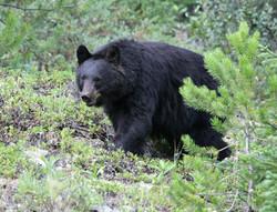 Wisconsin Black Bear