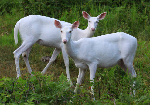 Albino Deer of Manitowish Waters
