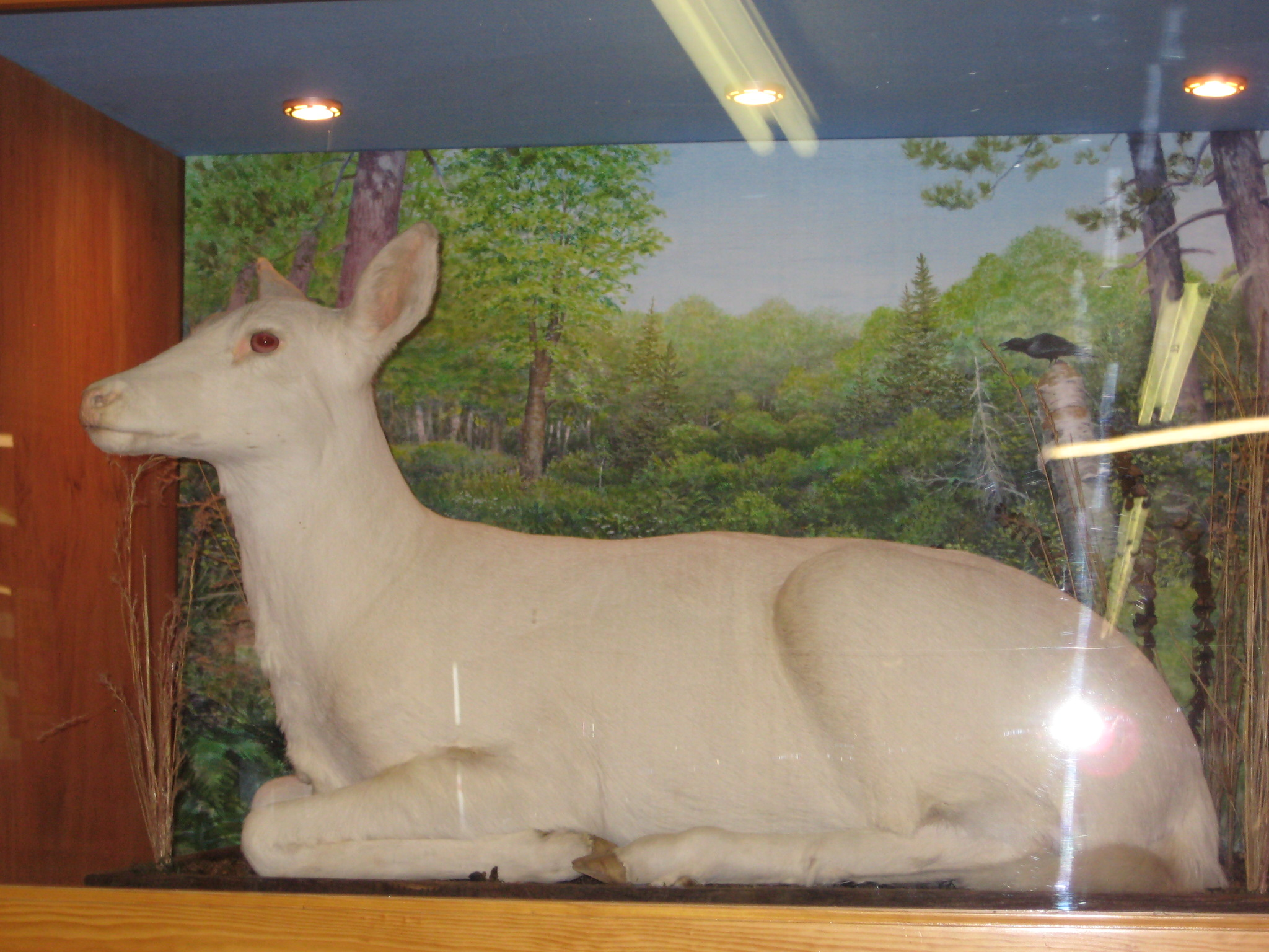 Albino deer—from Ghosts
