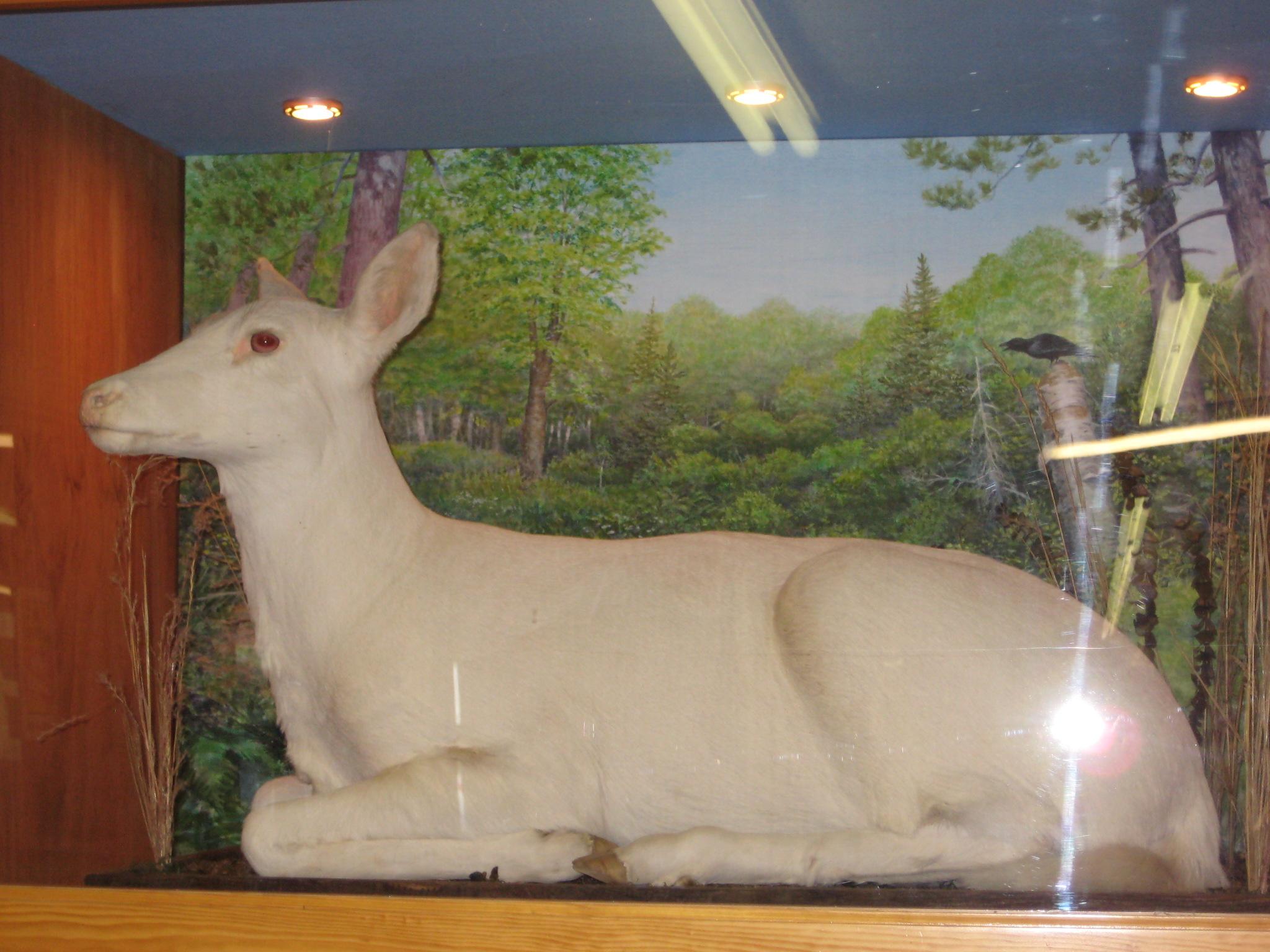 Albino deer—from Ghosts