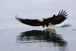 Bald Eagle on Lost Land Lake