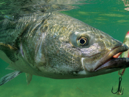 Sport Fishing Magazine Features Phase II Lures