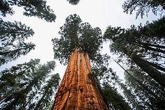 sequioa tree.jpg