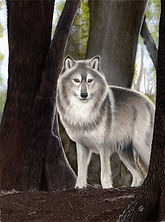 Title:  Timber Wolf in the Woods Size:  11x14 inches Medium:  Colored Pencils, Panpastels, Tombow markers, and Faber-Castell Pitt India ink brush pens on Clairefontaine PastelMat