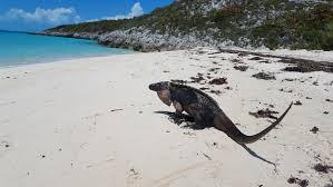 Feed the iguanas