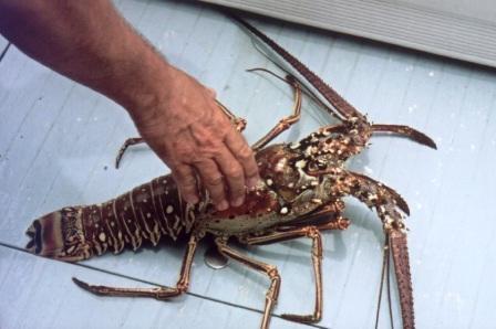 Freshly catched crawfish