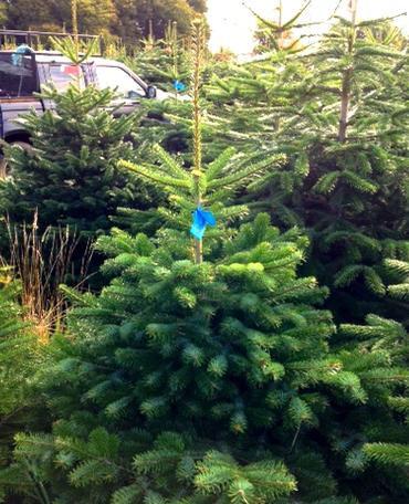 Non drop real Christmas tree